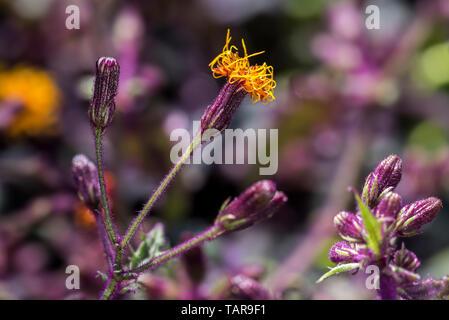 Longevità spinaci / longevità verdi (Gynura procumbens) in fiore, vitigno commestibili nativa per la Cina, Sud-est di Asia e Africa Foto Stock