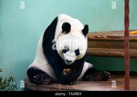 Femmina di panda gigante Tian Tian o 'Sweetie' presso lo Zoo di Edimburgo, Scozia, Regno Unito Foto Stock