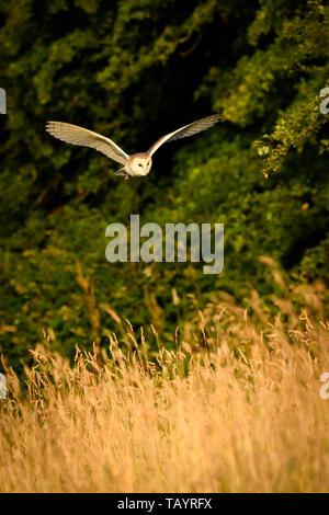 Il barbagianni (Tyto alba) illuminato dalla luce del sole serale in habitat di caccia, volando a bassa quota su terreni erbosi, ali stese - Baildon, West Yorkshire, Inghilterra, Regno Unito. Foto Stock