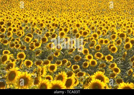 Sun di Campo dei Fiori. Foto Stock