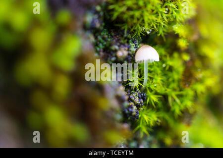 Vista ingrandita del bianco di funghi selvatici con sottili stipe crescente nella foresta sulla corteccia di albero tra la lussureggiante verde muschio Foto Stock