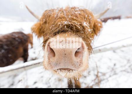 Highland cow nella neve, Valtellina, Lombardia, Italia, Europa Foto Stock
