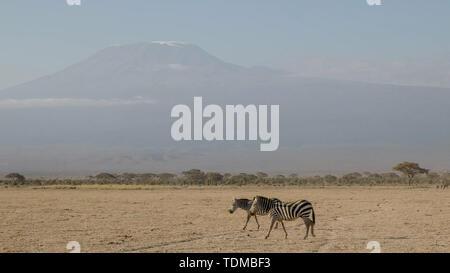 Due zebra e mt kilimanjaro a amboseli in Kenya Foto Stock