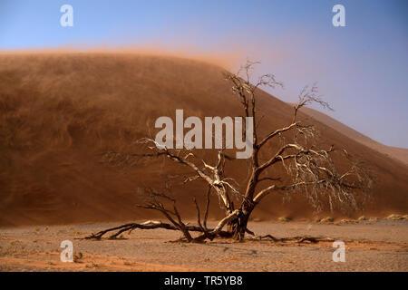 Camel thorn, giraffe thorn (Acacia erioloba), albero morto nella parte anteriore di una duna di sabbia, Namibia, Sossusvlei, Namib Naukluft National Park