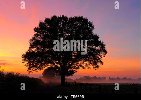 Unico albero di sunrise, in Germania, in Renania settentrionale-Vestfalia, GFN Dingdener Heide Foto Stock
