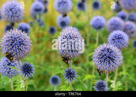 "Blue Globe thistle (Echinops bannaticus "" Taplow Blue', Echinops bannaticus Taplow blu), che fiorisce con bombi, Taplow blu Foto Stock"