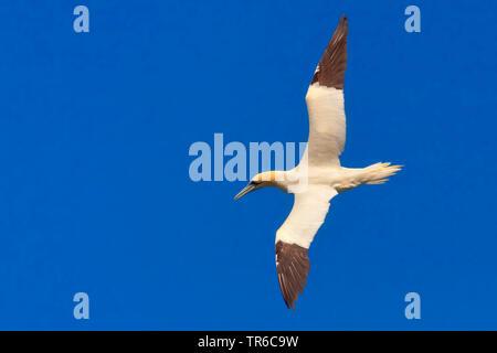Northern gannet (Sula bassana, Morus bassanus), in volo nel cielo blu, vista da sopra, Irlanda Foto Stock