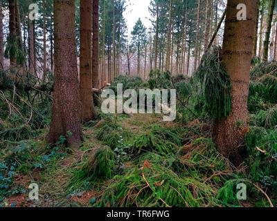 Abete (Picea abies), storm perdita in una foresta di abeti rossi, in Germania, in Renania settentrionale-Vestfalia Foto Stock