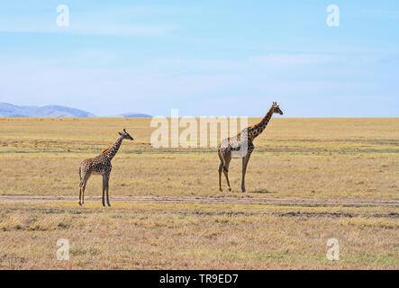 Masai Maasai Giraffe Giraffa camelopardalis tippelskirchii madre e piccolo giovane vitello pianure Masai Mara riserva nazionale del Kenya Africa orientale