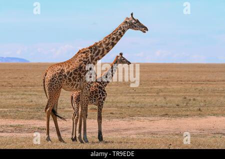 Masai Maasai Giraffe Giraffa camelopardalis tippelskirchii madre e piccolo vitello giovane Masai Mara riserva nazionale del Kenya Africa Orientale vista laterale blu cielo