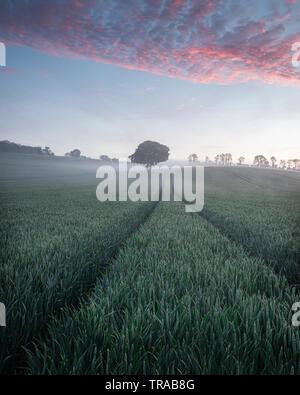 Un lone tree nel verde di un campo di grano in una nebbiosa mattina Foto Stock