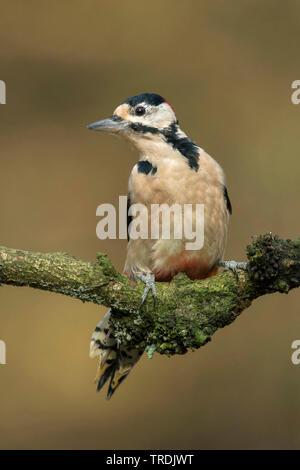 Picchio rosso maggiore (Picoides major, Dendrocopos major), maschio appollaiate su un ramo, Paesi Bassi Foto Stock