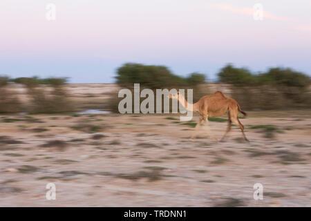 Dromedario, one-humped camel (Camelus dromedarius), in esecuzione nel deserto di Al Mughsayl, Oman Foto Stock