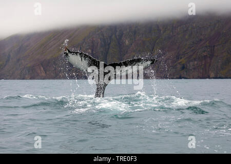 Humpback Whale (Megaptera novaeangliae), coda inserimenti fuori ot l'acqua, Islanda