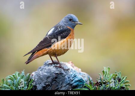 Passero solitario (Monticola solitarius), maschio, Italia