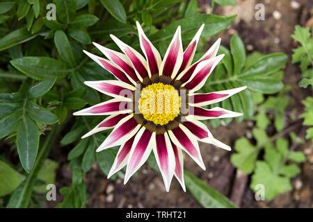 Close-up vista dall'alto di uno bianco e lilla Gazania fiore in fiore in un giardino. Sfocare lo sfondo di foglie verdi e la massa