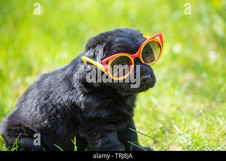 Funny black Labrador retriever cucciolo sguardi attraverso occhiali da sole. Dog sitter sull'erba nel giardino estivo Foto Stock