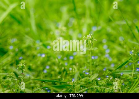 Gocce di rugiada su un prato verde sfondo bokeh, Abstract di sfondo naturale. In particolare concentrarsi su qualche fiore. Foto Stock