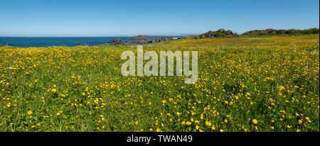 I campi di fiori gialli a Hov, Norvegia. Foto Stock
