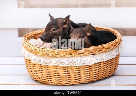 Due maiali neri di razza vietnamita a sedersi in un cesto di vimini vicino alla decorazione di Natale. Concetto del nuovo anno. Foto Stock
