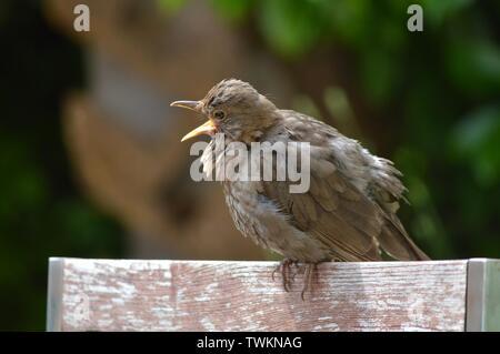 Provare prima - bambino uccello imparare a volare chiamando la sua madre Foto Stock