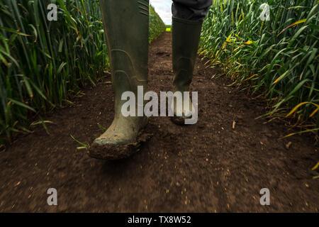 Agricoltore in stivali di gomma a piedi attraverso fangoso campo di grano e di esaminare lo sviluppo di colture di cereali dopo forti piogge, basso angolo di visione Foto Stock