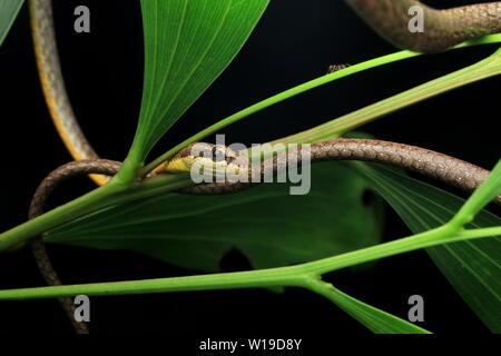 Vite comune serpente a becco lungo serpente frusta,