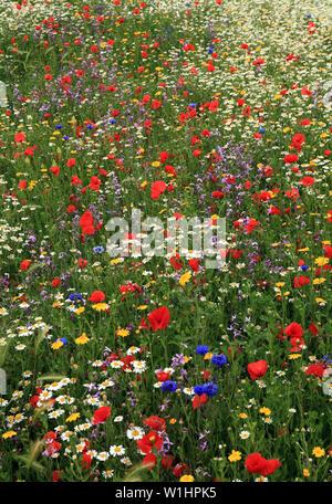 Semi di papavero, Daisy, Fiordaliso, fiori selvatici, giardino di fiori selvaggi, bordo colorato Foto Stock