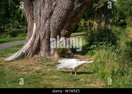 Nel parco del Castello di Leeds, Maidstone Kent Foto Stock