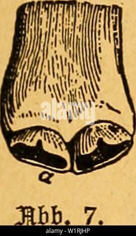 """Archivio immagine dalla pagina 66 della Das pferdebuch des amerikanischen agricoltori. Das pferdebuch des amerikanischen agricoltori daspferdebuchdes00hoff Anno: 1917 SBom Srfcnncn essere§ 'älicvS bei 5ßfcrbcn. 61 iDäI}renb bagegen Bei ferbcn, bic nur 'örnerfutter erfialten, befon ber§ aber bei folden Spieren, bie bicl auf fanbiger SBeibe gef)en, tno bie räfcr oft mit fcfiarfem taub bebeift finb, bie Saf)m fd)neller aggetto obnulsen bie """"unben' früt)cr berfctoinben. S)Un§ fcrb bringt aä:)t sa(ien3äf)ne (smerigliatrici, o molari), gioei auf jebcr cite oben iinh unten, mit auf bie 2BeIt, ober e§> aeigen fic bicfelbcn Sinei"""