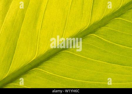 Simmetriche vista diagonale di una pace verde giglio Foglia (Spathiphyllum) con una retroilluminazione per dare una luce soffusa e texture interessanti.