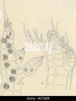 """Immagine di archivio da pagina 286 del Dansk botanisk arkiv (1913-1981). Dansk botanisk arkiv danskbotaniskark03dans l'Anno: 1913-1981 F. Børgesen: Rhodophyceae danese W. Indie. 279 La antheridial gabbie (Fig. 279) sono formate dal primo lato- ramo dell'trichoblast. Essi sono piuttosto spesse, subcilindrica, con una quasi sferica, a parete spessa, sterili, cella apicale; a volte due si trovano. La parte fertile è fino a 200 """" lunga e 60"""" di ampio. La fertile trichoblasts si trovano nel vertice di filamenti. Il antheridial piante sono un po' più sottili rispetto a quelli con la Fig. 278. Polysi"""