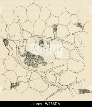 Immagine di archivio da pagina 370 di Dansk botanisk arkiv (1913-1981). Dansk botanisk arkiv danskbotaniskark03dans l'Anno: 1913-1981 F. Børgesen: Rhodopliyceae danese W. Indie. 363 L'tetrasporangia, antheridia e cystocarps si trovano su impianti separati. Il tetrasporangia sono sviluppati nel tessuto periferico. La madre-celle del sporangia allargarsi, riempito con proto- plasma e ottenere un colore rosso scuro. Essi sono zonately diviso. La gabbie antheridial si verificano ogni- dove su sur- faccia del le piante maschio di formatura o minore larg- er gruppi. Il procarps e carpogonial b