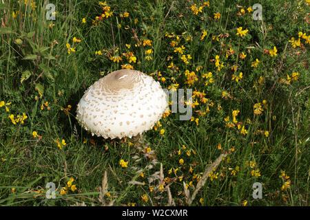Shaggy parasol funghi, nome latino Chlorophyllum rhacodes, tra erbe e Common Bird's-piede-lupolina, nome latino di Lotus corniculatus Foto Stock