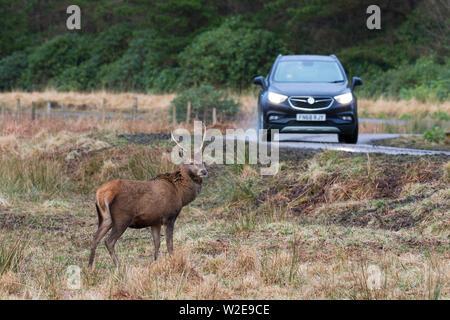 Il cervo (Cervus elaphus) feste di addio al celibato in piedi vicino alla strada nella parte anteriore della macchina sotto la pioggia nelle Highlands scozzesi, Scotland, Regno Unito