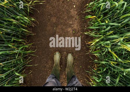 Agricoltore in stivali di gomma a piedi attraverso fangoso campo di grano e di esaminare lo sviluppo di colture di cereali dopo forti piogge, vista dall'alto Foto Stock