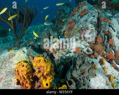 Polpo Octopus vulgaris caccia sulla barriera corallina Foto Stock