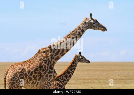 Masai Maasai Giraffe, Giraffa camelopardalis tippelskirchii, madre piccolo giovane vitello. Riserva Nazionale di Masai Mara Kenya Africa close up spazio copia due