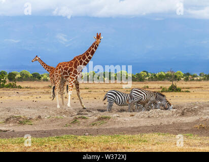 Due giraffe reticolate Giraffa camelopardalis reticulata tre zebra zebre coda di Accodamento bere acqua waterhole Sweetwaters Ol Pejeta Conservancy Foto Stock