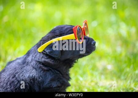 Funny Labrador retriever cucciolo sguardi attraverso occhiali da sole. Cane a giocare all'aperto nell'erba in estate Foto Stock
