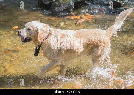 White Golden Retriever gode nella fontana, giocando e saltando in acqua Foto Stock