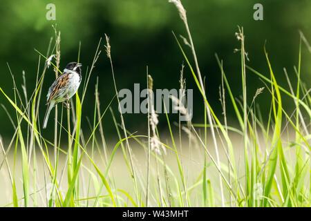 Reed Bunting, nome scientifico: Emberiza schoeniclus, maschio Reed Bunting appollaiato in habitat naturale e di erbe e canne. Rivolto verso destra. Paesaggio Foto Stock