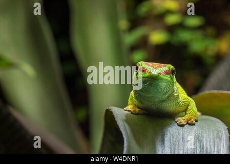 Madagascar giorno gecko (Phelsuma madagascariensis madagascariensis), specie diurna di gecko nativa per il Madagascar, Africa