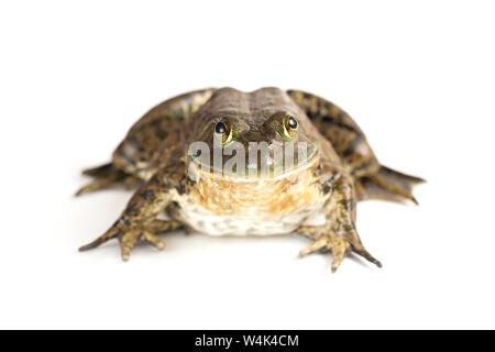 American bullfrog su sfondo bianco