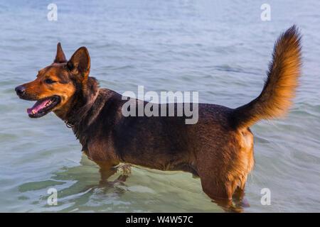 Happy dog nuotare nel mare Foto Stock