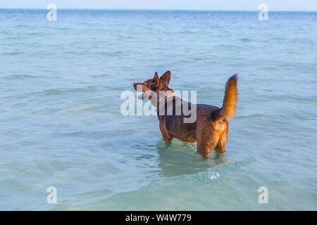 Happy dog in mare presso la spiaggia. Concetto di estate Foto Stock