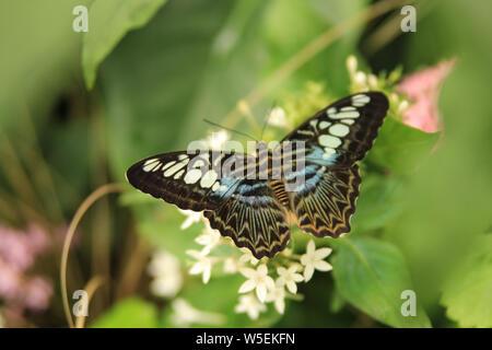 Parthenos sylvia, il Clipper farfalla con ali aperte Foto Stock