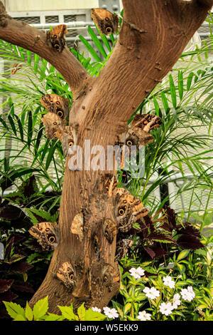 Cluster di farfalle appollaiato su un albero Foto Stock