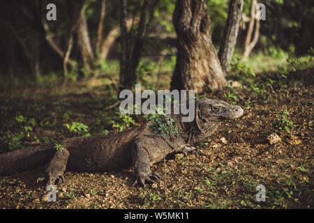 Drago di Komodo close-up, nome scientifico: Varanus komodoensis. Habitat naturale. Indonesia, Rinca Isola