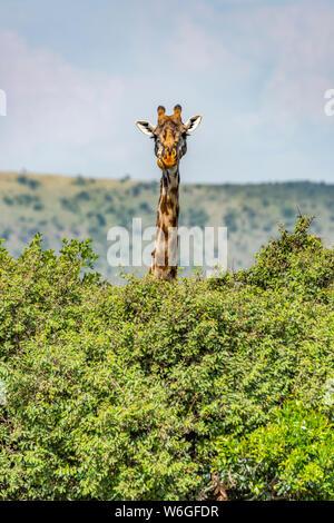 Masai giraffe (Giraffa camelopardalis tippelskirchii) sfreccia sui cespugli della savana, Parco Nazionale di Serengeti; Tanzania